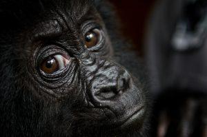 Mountain Gorillas in Mgahinga
