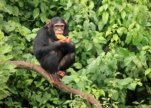 Mountain Gorillas Uganda Safaris