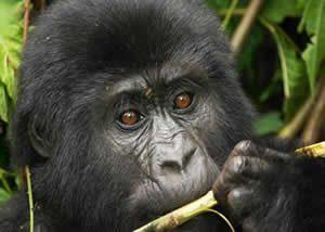 Infant Gorilla Bwindi
