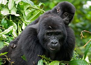 10 days Gorilla trekking in Uganda