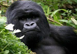 Uganda Luxury Gorilla Trek