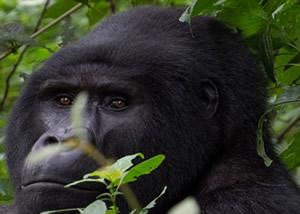 Uganda Luxury Gorilla Safaris