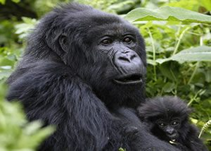 Gorilla Trekking Mgahinga
