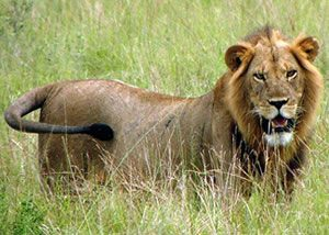 Safari Africa-Lions of Murchison