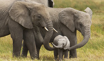 Big Five Africa-Elephants