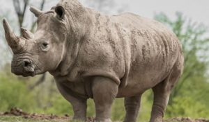 Rhino Adventures in Ziwa Uganda