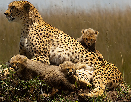 Wildlife safaris Masai mara