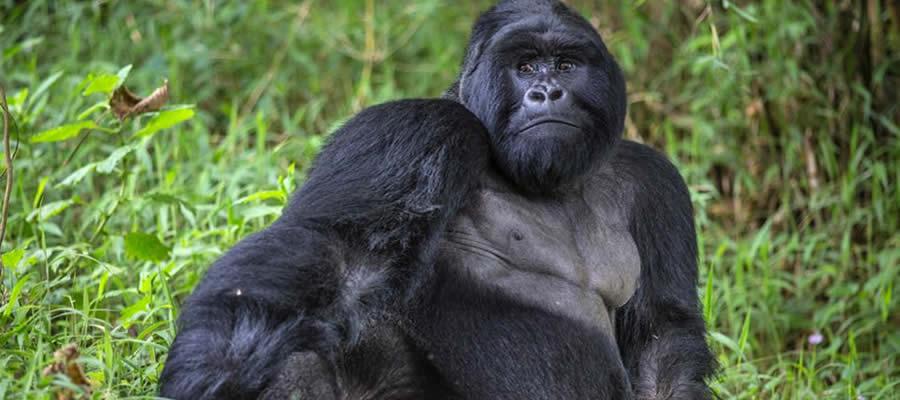 Gorilla Safari Tours in Uganda