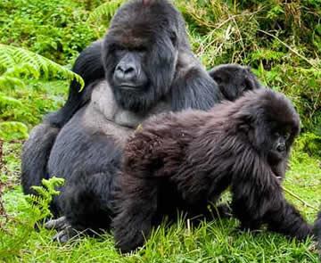 6 Days Chimpanzee and Gorilla Tour