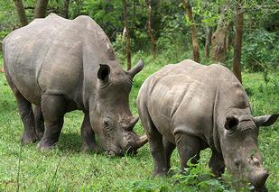 Ziwa Rhino trekking Sanctuary in Uganda