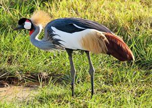 The Uganda Crested Crane