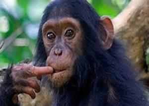 Primate Tracking Uganda