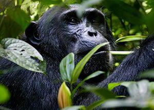 Uganda Luxury Chimpanzee Tours