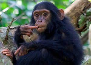 Mountain Gorillas-Chimpanzees Uganda