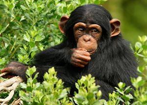 The Mountain Gorillas-chimps Uganda
