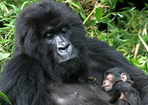 Mountain Gorillas trek Bwindi