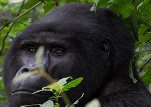 Uganda Luxury Gorilla Safaris