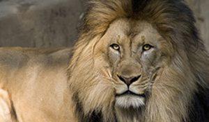 Big Five Africa-Lions
