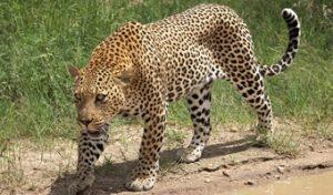 Big Five Africa-Leopard
