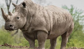 Big Five Africa-Rhinos