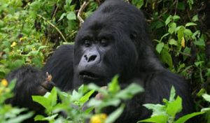 Gorilla treks uganda