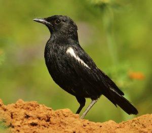 5 Days Uganda Birding Safari