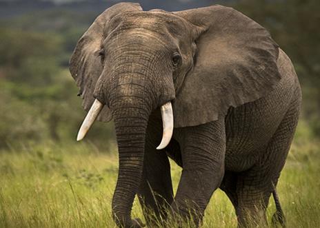 Elephants Uganda