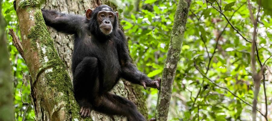 Chimpanzee Tracking Safaris Uganda