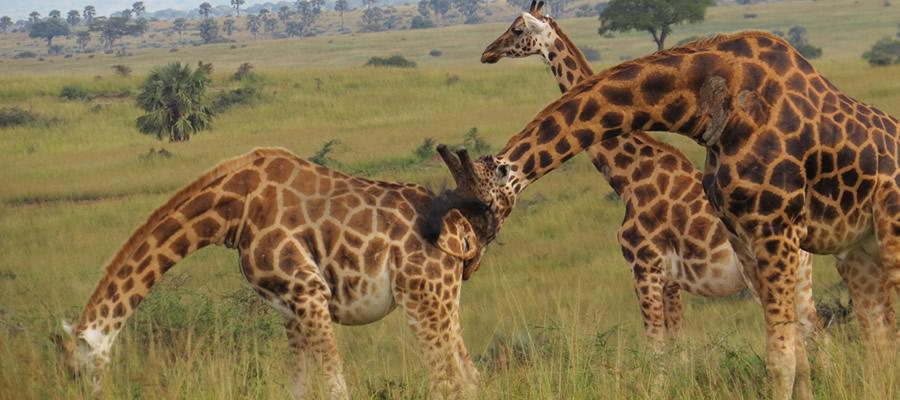 Wildlife Safaris in Uganda
