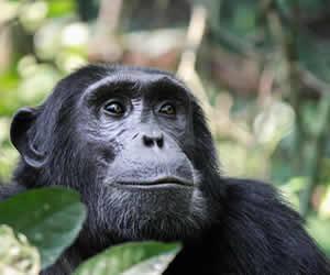 Chimpanzee Tracking Tours