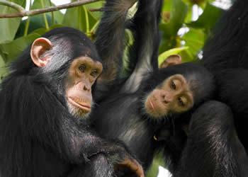 Luxury Uganda Chimpanzee Tracking Tours