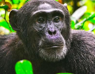 5 Days Uganda Primates Tour (2021 Gorillas & Chimps)