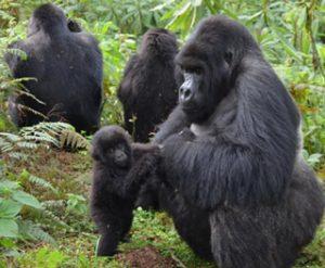 6 Days (Uganda Safari 2021-22) Gorilla & Wildlife Tour