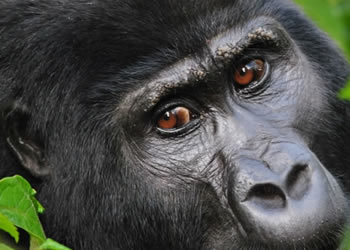 Luxury Gorilla Trekking Tours