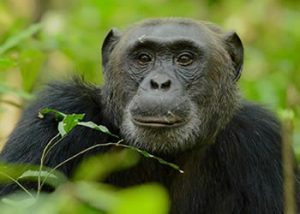 Chimpanzee Tours Uganda