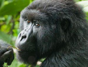 7 Days Uganda 2021 Chimpanzees, Gorillas & Wildlife Tour