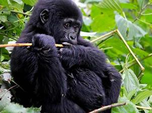 3 Days Uganda Gorilla Trekking Safari (Bwindi 2021/22)