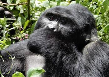 3 Days Flying Safari to Bwindi Forest