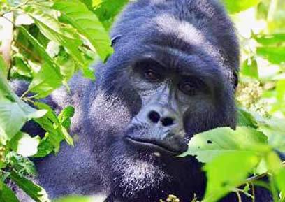 3 Days Flying Safari to Bwindi Forest Uganda
