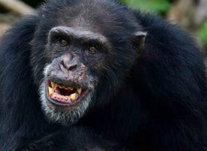 12 Days Primates in Rwanda & Uganda Tour