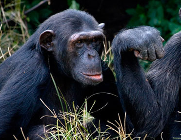 1 Day Uganda Chimpanzee Tour